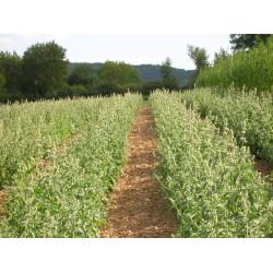 Plantation FlorVital de Cataire citronnée bio.
